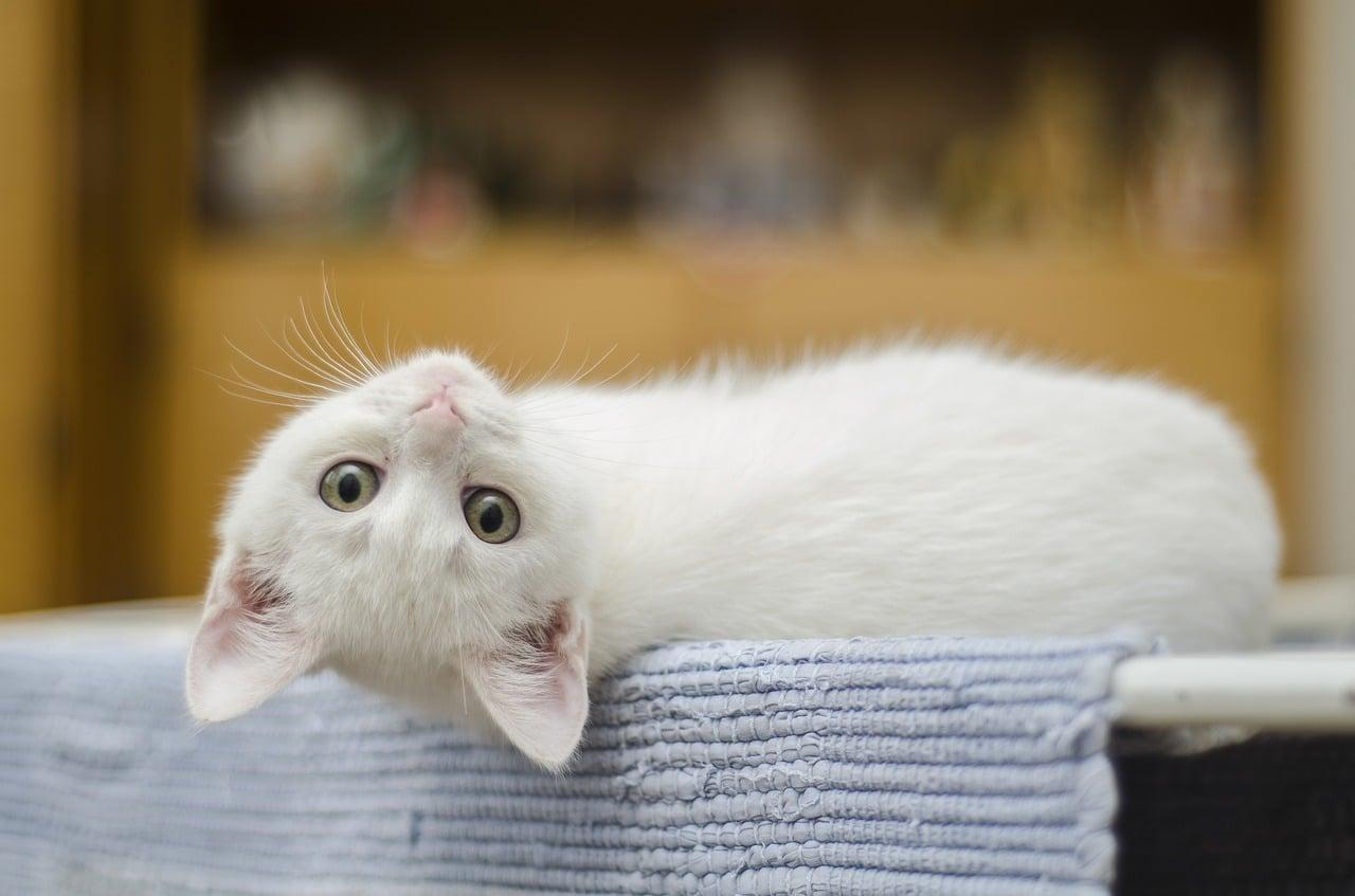 Quiz sur les chats #1